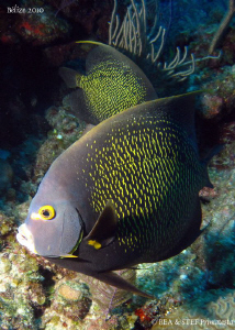French angelfish. San Pedro, Belize. Canon Ixus 980 &amp; Ino... by Bea &amp; Stef Primatesta 